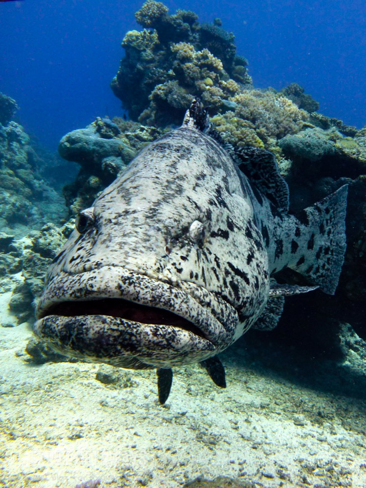 Guess where Cod Hole gets its name? These friendly fish aren't shy! Great Barrier Reef scuba
