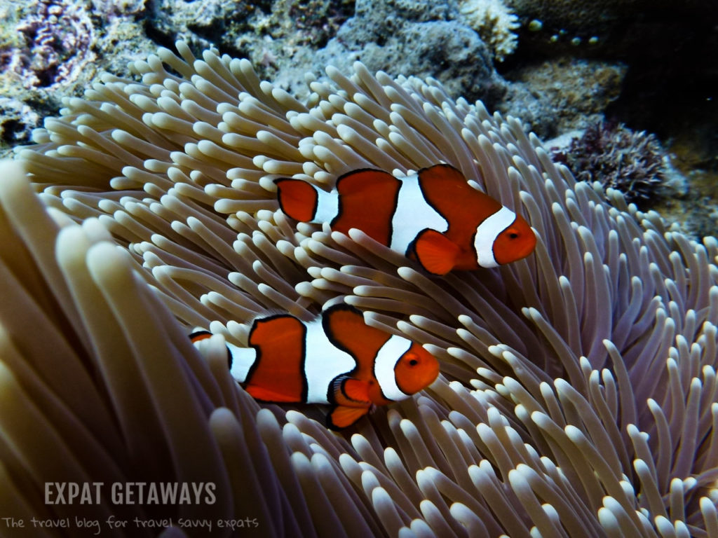 There is always the opportunity to find Nemo while diving the reef.