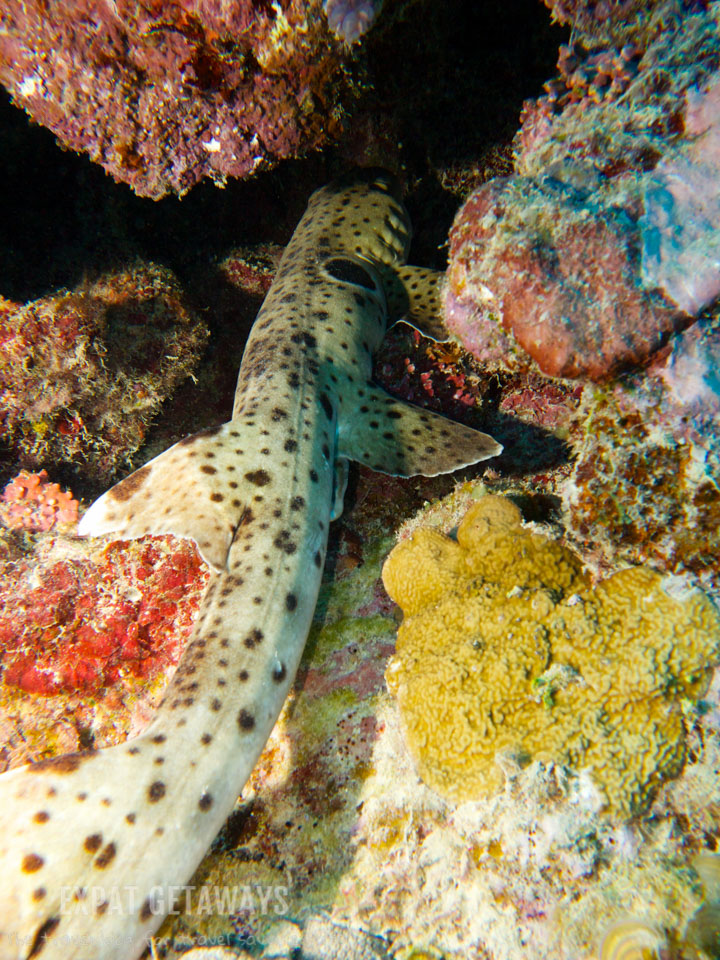 A first for me! An epaulette shark hiding in the shallows
